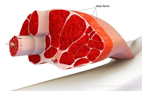 Situación de la fascia en los músculos